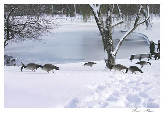 Winter Geese Boston Public Garden CCNESS 1074
